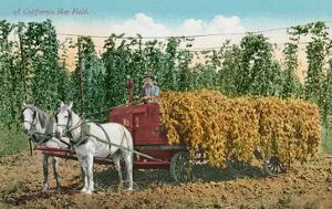 Hops Harvest in California