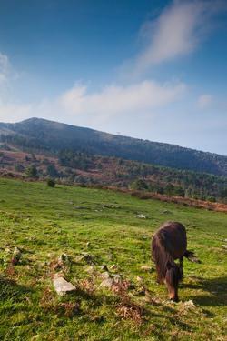 Horse grazing along the Jaizkibel Road, Hondarribia, Guipuzcoa Province, Basque Country Region,...