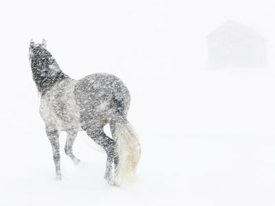 https://imgc.allpostersimages.com/img/posters/horse-in-snow-storm-with-shed-in-background-usa_u-L-Q13A92T0.jpg?p=0