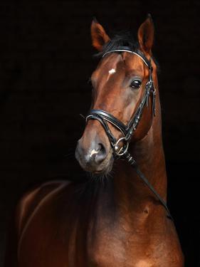 Beautiful Bay Horse Standing in the Stable Door by horsemen