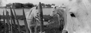 Horses, Camargue, France