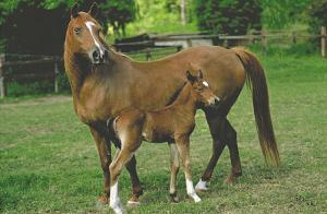 Horses (Mare and Foal) Art Poster Print