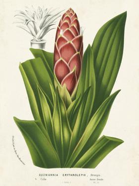 Tropical Bromeliad I by Horto Van Houtteano