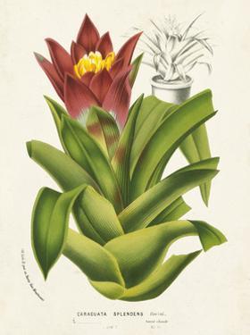 Tropical Bromeliad II by Horto Van Houtteano