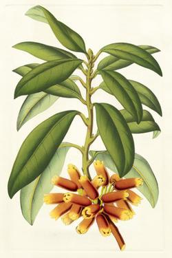 Tropical Rhododendron I by Horto Van Houtteano