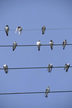 House Martins Gather on Telephone Wires (Delichon Urbicum) France