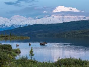 A Mother Moose Feeding in Wonder Lake by Howard Newcomb