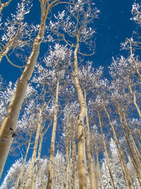 Snow Covered Trees in the Wintery Rocky Mountains, Colorado by Howard Newcomb