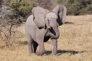 Baby Elephant III by Howard Ruby