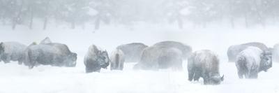 Bisons in Blizzard