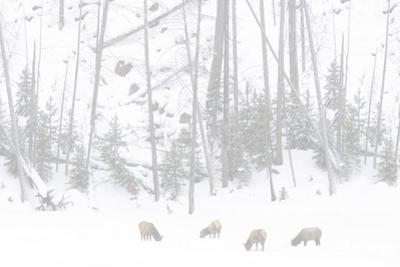 Elk Grazing by Howard Ruby