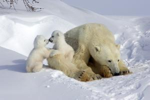 Kissing Polar Bear Cubs by Howard Ruby