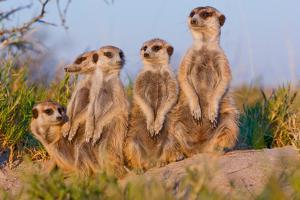 Meerkat Family II by Howard Ruby