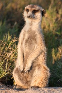 Meerkat Gaze by Howard Ruby
