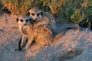 Meerkat Love by Howard Ruby