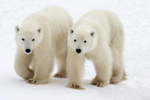 Pair of Adolescent Polar Bear Cubs by Howard Ruby