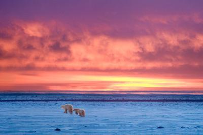 Polar Bear Sunset by Howard Ruby
