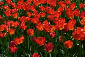 Red Tulips by Howard Ruby