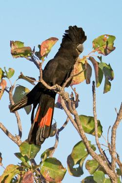Red-Winged Black Cockatoo by Howard Ruby