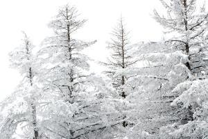 Snow-Laden Trees by Howard Ruby