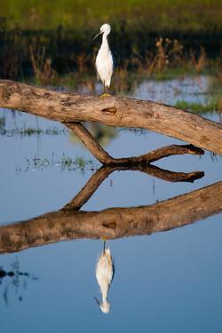 Snowy Egret by Howard Ruby