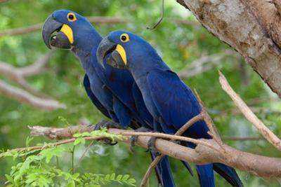 The Two Hyacinth Macaw by Howard Ruby