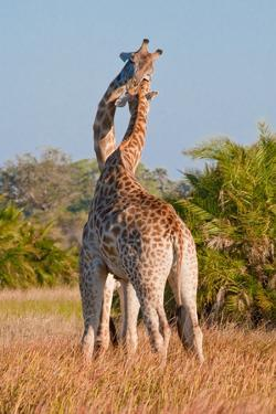 Two Male Giraffes Fighting by Howard Ruby