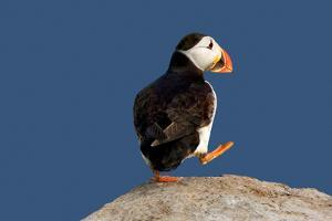 Waddling Puffin by Howard Ruby
