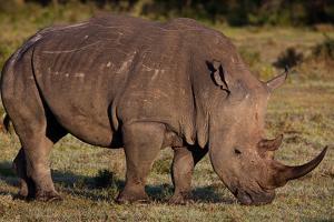 White Rhino by Howard Ruby