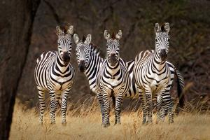 Zebras Looking by Howard Ruby