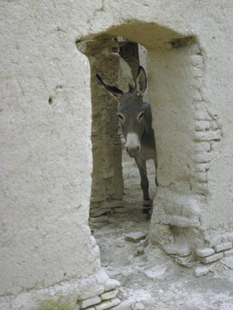 Donkey Peering Through Open Passage Way in White-Washed Wall in Ruined City