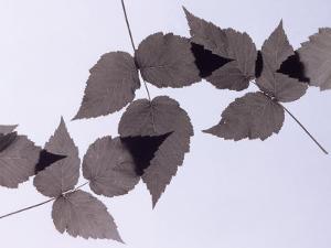 Backlit Leaves by Howard Sokol