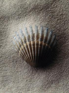 Scallop Shell in Sand by Howard Sokol