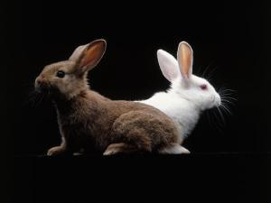 White and Brown Rabbit by Howard Sokol