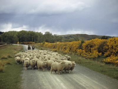 Corriedale Sheep, Raised for Wool and Mutton, are Lead to Market