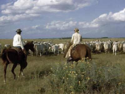 Cowboys Drive a Herd of Brahman Cattle across Texas Range