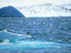 Adelie Penguin Strolls across Rocky Beach, Antarctic Peninsula by Howie Garber