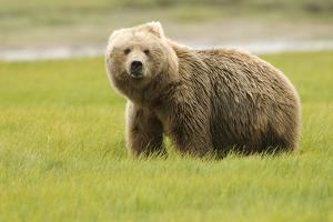 Alaskan, Brown Bear, Ursus Middendorffi, Katmai National Park, Alaska by Howie Garber