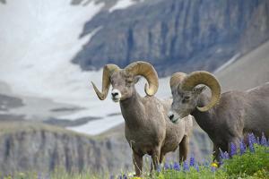 Big Horn Rams in the Wildflowers, Mount Timpanogos, Utah by Howie Garber