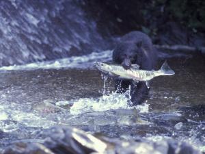 Black Bear Holds Chum Salmon, near Ketchikan, Alaska, USA by Howie Garber