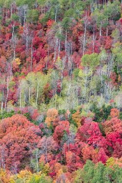 Brilliant Fall foliage near Midway and Heber Valley, Utah by Howie Garber