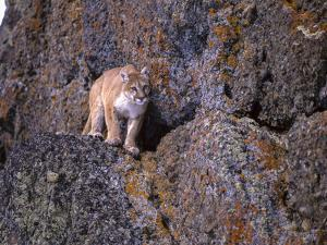 Captive mountain lion against cliff and lichen, Montana by Howie Garber