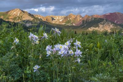 Colorado Columbine from Gothic Road, Crested Butte, Colorado by Howie Garber