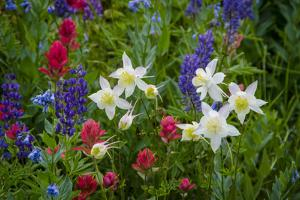 Columbine, Indian Paintbrush, Bluebells, and Lupine, Utah by Howie Garber