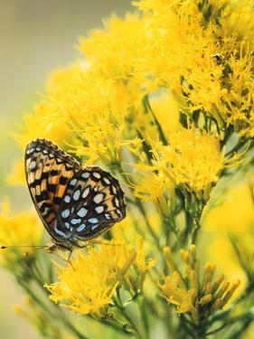 Coronis Fritillary, Nectaring on Rabbitbrush, WY by Howie Garber