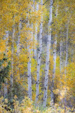 Fall Snowstorm, Aspen Trees, Grand Teton National Park by Howie Garber
