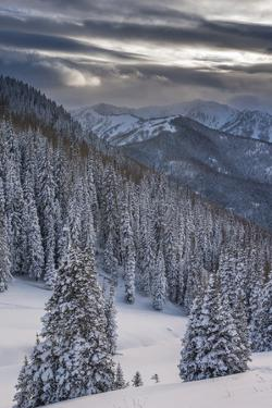 Fresh Snow in Evergreens, Wasatch Mountains, Uinta-Wasatch-Cache, Utah by Howie Garber