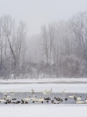 Geese, Swans and Ducks at Pond Near Jackson, Wyoming by Howie Garber