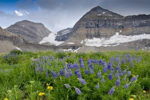 Lupine, Lupinus, Mount Timpanogos. Uinta-Wasatch-Cache Nf by Howie Garber