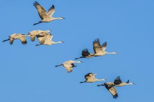 Sandhill Cranes flying in formation near Bosque de Apache National Wildlife Refuge by Howie Garber